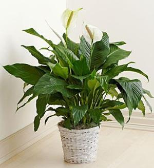 Floor Plant for Sympathy by America's Funeral Florist