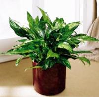 Chinese Evergreen by America