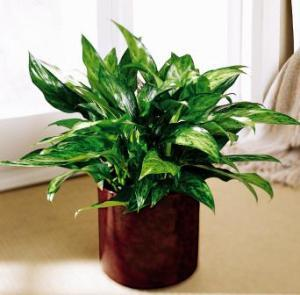 Chinese Evergreen by America's Funeral Florist