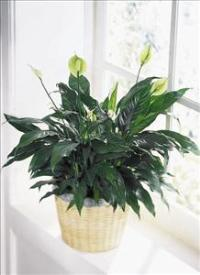 Peace & Serenity™ Planter by Americas Funeral Florist