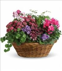 Simply Chic Mixed Plant Basket by America