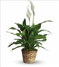 Simply Elegant Spathiphyllum - Small by America