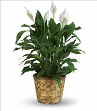 Simply Elegant Spathiphyllum - Large by America