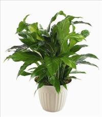 """Peace Lily"" Spathiphyllum Plant by America"