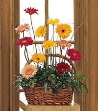 Gerberas in Wicker Basket by America