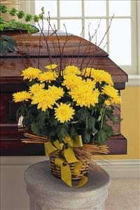Yellow Blooming Chrysanthemum by Americas Funeral Florist