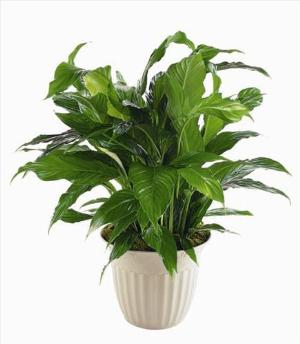 """Peace Lily"" Spathiphyllum Plant by America's Funeral Florist"