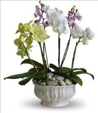 Regal Orchids by America